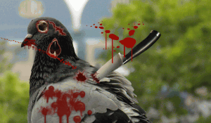 Another Zombie Pigeon spotted in Las Vegas